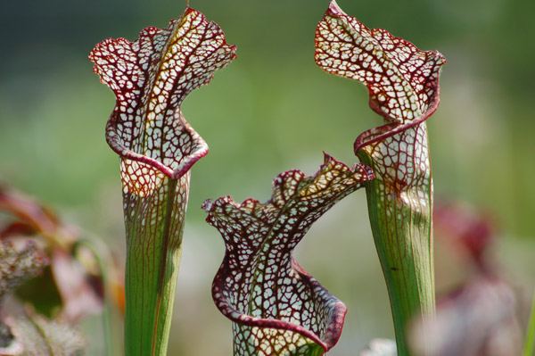 weeks bay pitcher plant coastal alabama ecology