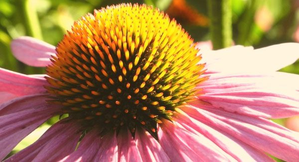living building challenge certification coneflower petal
